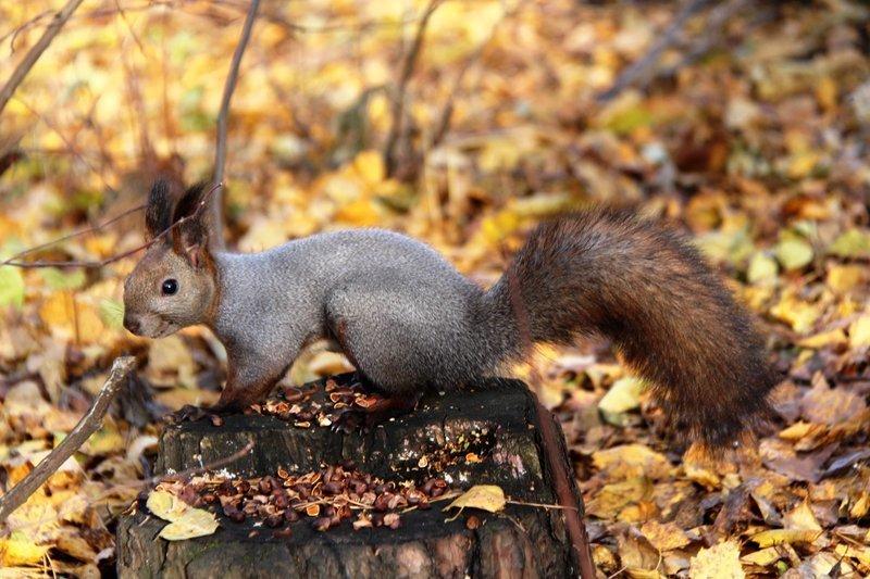 havasupai squirrels