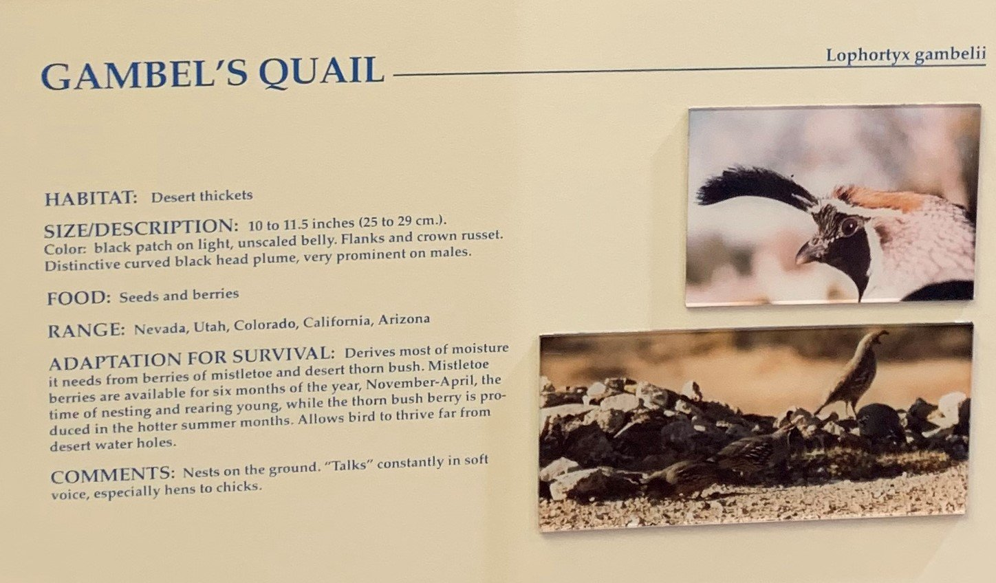 What is a Gambel's Quail